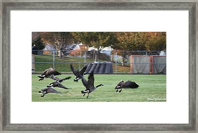 Framed Print featuring the photograph Canadian Geese Taking Flight by Robert Banach