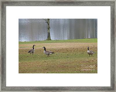 Canadian Geese Tourists Framed Print
