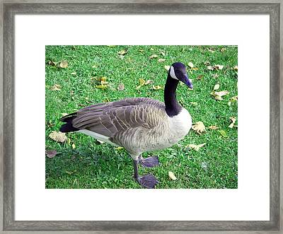 Canadian Goose Framed Print by Aimee L Maher Photography and Art Visit ALMGallerydotcom