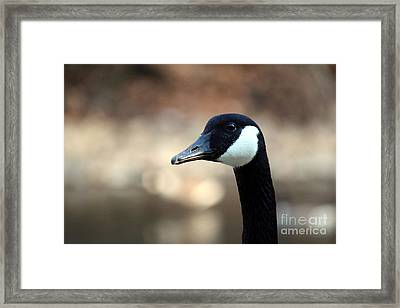 Framed Print featuring the photograph Canadian Goose by David Jackson