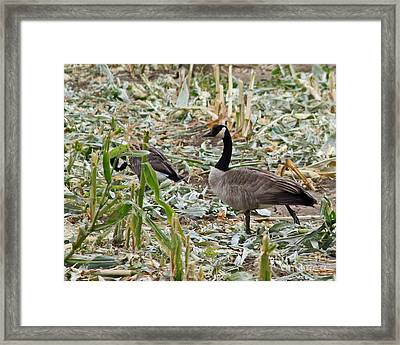 Canadian Goose In Cornfield Framed Print by Kenny Bosak