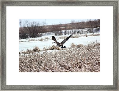 Framed Print featuring the photograph Canadian Goose by Ryan Crouse
