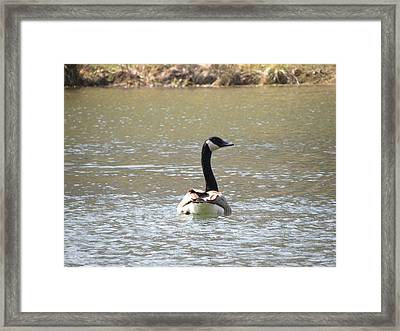 Canadian Goose Swimming Framed Print by Cim Paddock