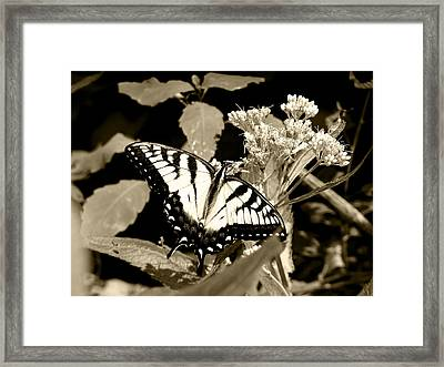 Canadian Tiger Swallowtail In Sepia Framed Print