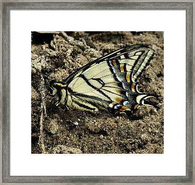 Canadian Tiger Swallowtail Framed Print