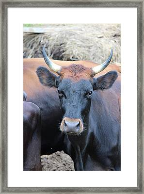 Canadienne Cow Framed Print