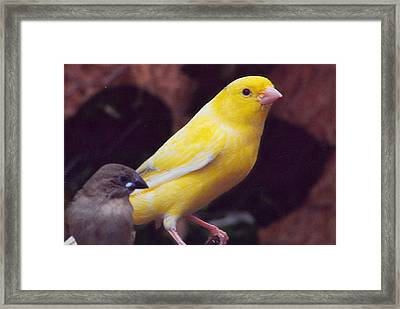 Canary And Finch Framed Print by Barb Baker