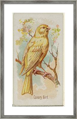 Canary Bird, From The Song Birds Framed Print by Allen & Ginter