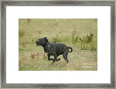 Canary Dog Running Framed Print by Jean-Michel Labat