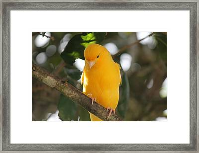 Canary Yellow Beauty Framed Print