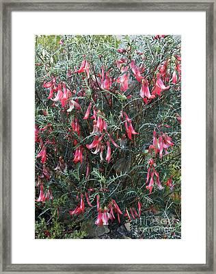 Cancer Bush (sutherlandia Frutescens) Framed Print by Bob Gibbons