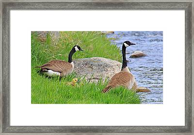 Canda Geese And Goslings Framed Print