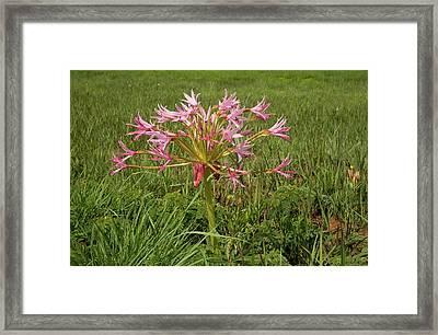 Candelabra Flower (brunsvigia Natalensis) Framed Print by Bob Gibbons