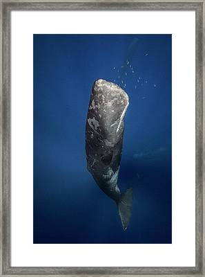 Underwater Diva Framed Print featuring the photograph Candle Sperm Whale by Barathieu Gabriel