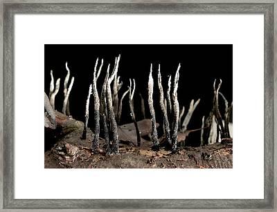 Candlesnuff Fungus (xylaria Hypoxylon) Framed Print