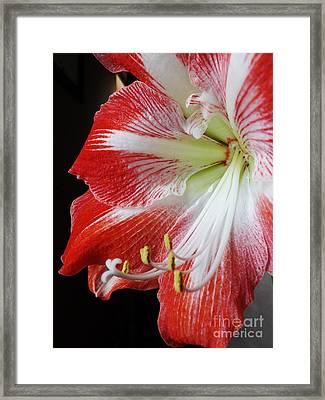 Candy Cane Amaryllis Framed Print