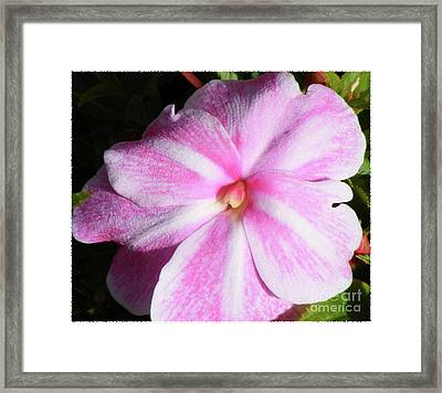 Framed Print featuring the photograph Candy Cane Impatiens by Barbara Griffin
