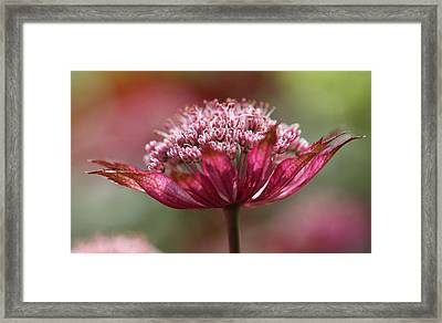 Botanica .. Candy Framed Print by Connie Handscomb
