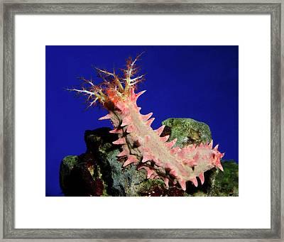 Candy Sea Cucumber Framed Print