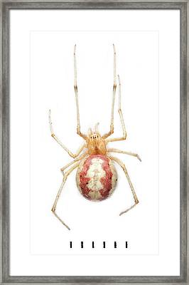 Candy Stripe Spider Framed Print by Natural History Museum, London