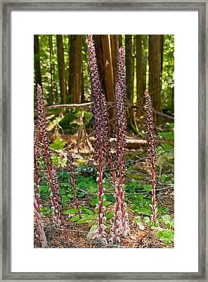Candystick Framed Print