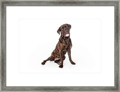 Cane Corso Dog Sitting To Side Framed Print