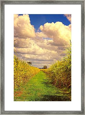 Cane Fields Framed Print by Wallaroo Images