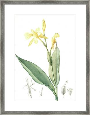 Canna Flaccida, Balisier Flasque, Golden Canna Bandana Framed Print