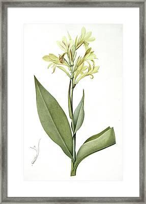 Canna Glauca, Balisier Glauque, Maraca Amarilla Louisianna Framed Print