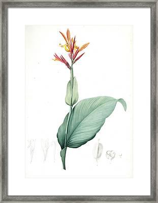 Canna Indica, Baslisier Der Indes Indian Shot, Achira Framed Print