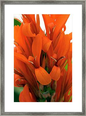 Canna Indica 'city Of Portland' Framed Print by Adrian Thomas