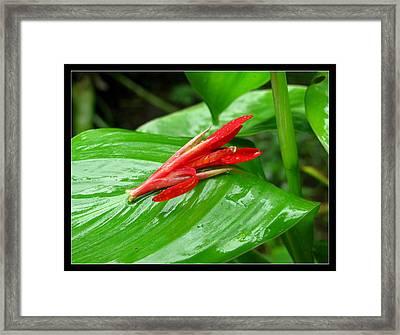 Canna Indica Framed Print by Prajakta P
