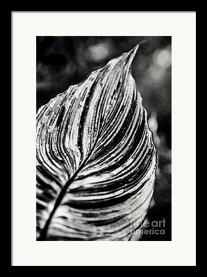 Canna Tropicanna Framed Prints
