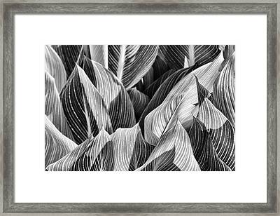 Canna Lilies In Monochrome Framed Print by Jason Politte