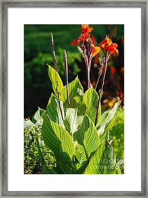 Canna Lily Framed Print by Optical Playground By MP Ray