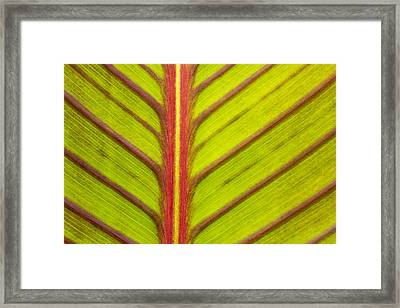 Canna Lily Red Stripe  Framed Print