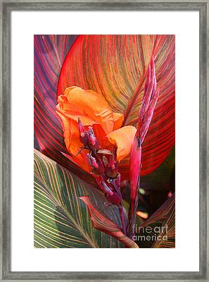 Canna Lily's New Growth Framed Print by Kenny Bosak