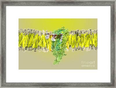 Cannabinoid Receptor Binding, Artwork Framed Print by Ramon Andrade