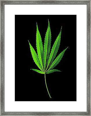 Cannabis Sativa Indica Leaf Framed Print by Gilles Mermet