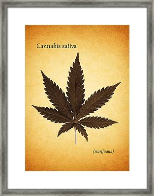 Cannabis Sativa Framed Print by Mark Rogan