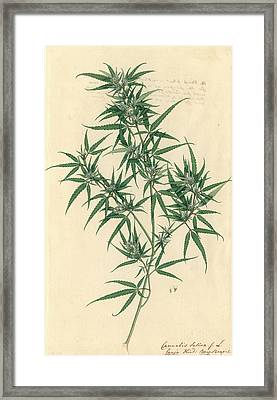 Cannabis Sativa Framed Print