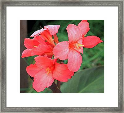 Cannas Amarillo Framed Print