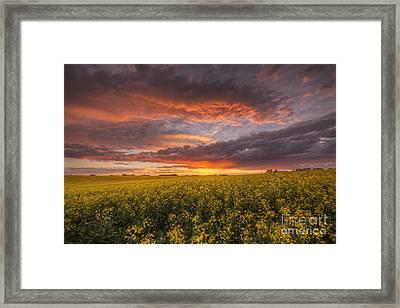 Canola At Sunset Framed Print by Dan Jurak