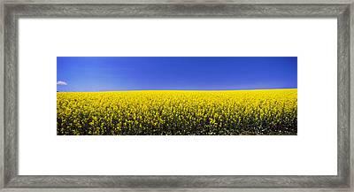 Canola Field In Bloom, Idaho, Usa Framed Print