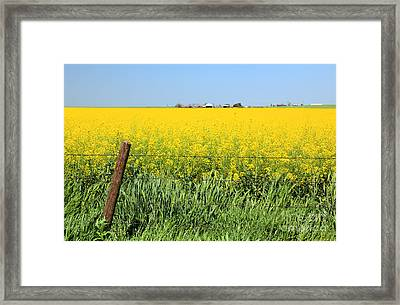 Canola Field Framed Print by Pattie Calfy