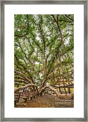 Canopy - Banyan Tree Park In Maui Framed Print by Jamie Pham