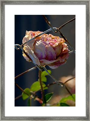 Can't Fence Me In - Faded Rose Art Print Framed Print