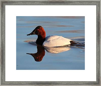Canvasback Drake Reflection Framed Print