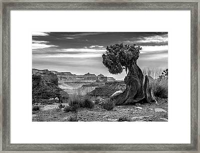 Canyon And Twisted Pine Framed Print by Lori Grimmett