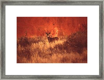 Canyonland Mule Deer Framed Print by T C Brown